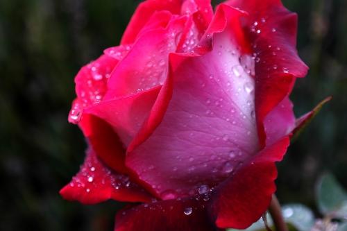 frédéric tison,photographie,rose
